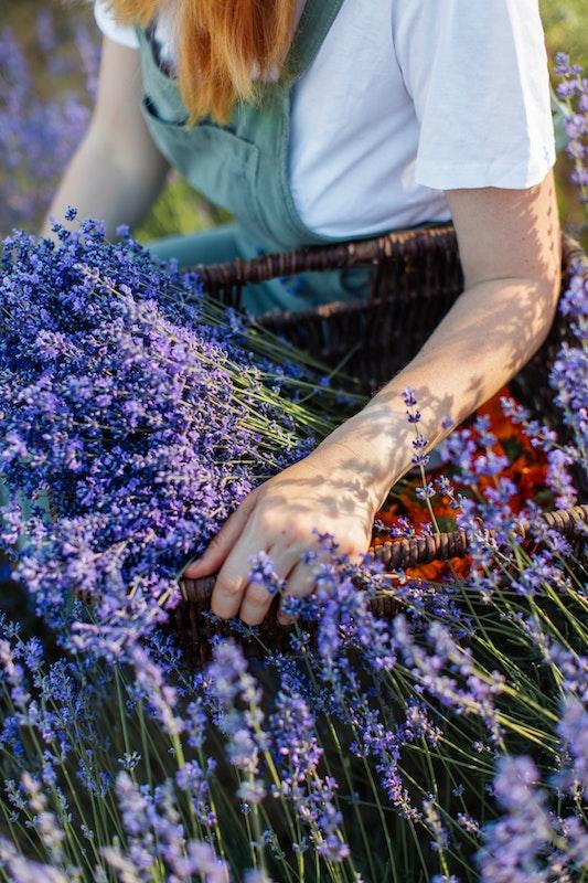 Lawendowe pola w kosmetykach.  Nowość marki Floslek