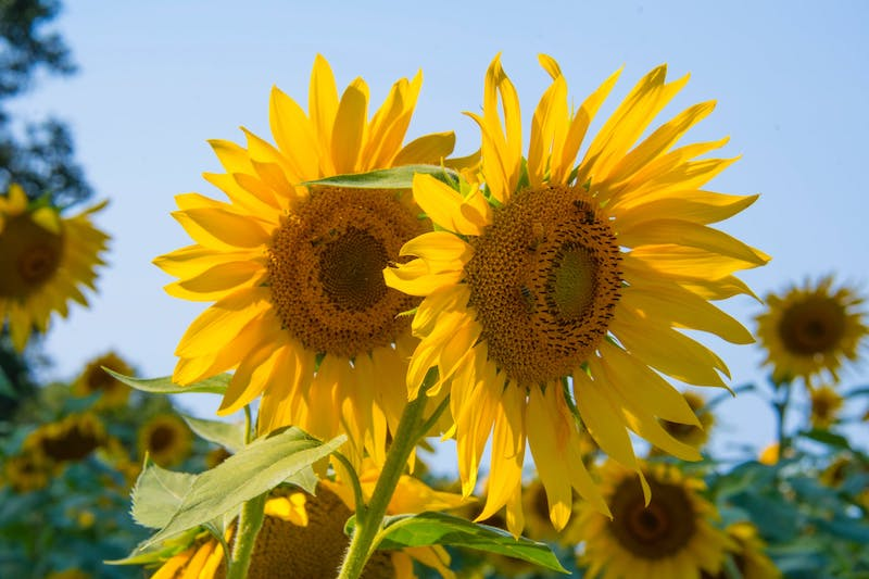 Ekologiczna pielęgnacja czarną porzeczką i słonecznikiem? Poznaj 3 nowości